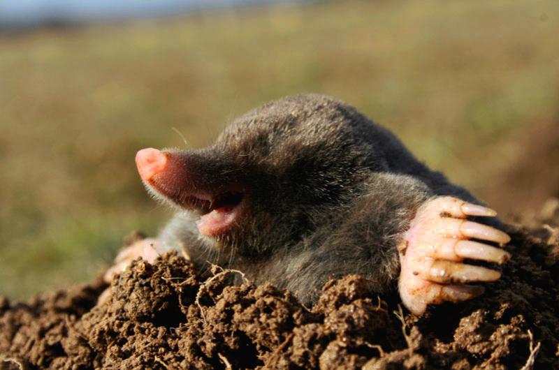 Adorable Mole
